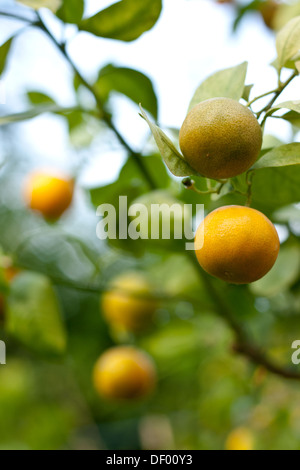 calamondin calamansi citrofortunella microcarpa x citrofortunella stock photo royalty free. Black Bedroom Furniture Sets. Home Design Ideas