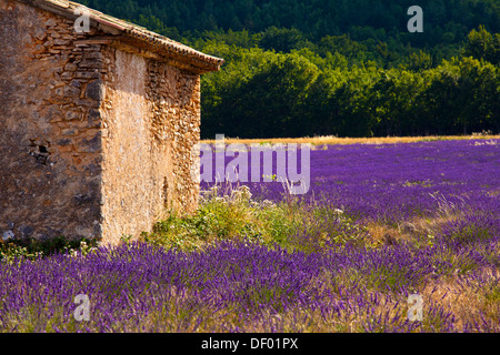 Old stone hut in a blooming field of Lavender (Lavandula angustifolia), near St-Christol and Sault, Vaucluse - Stock Photo