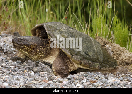 Snapping turtle (Chelydra serpentina), spring roadside specimen laying eggs. Killarney, ON, Canada - Stock Photo