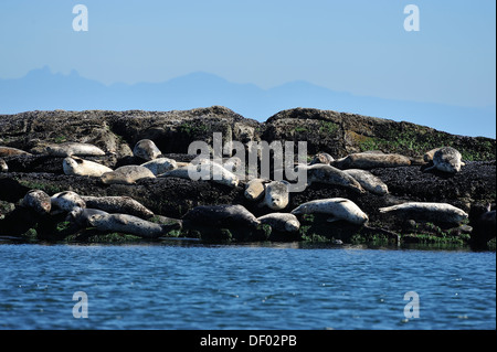 Harbor seals basking in the warm sunlight on a rocky island - Stock Photo