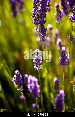 Lavender (Lavandula angustifolia), near Sault and Aurel, in the Chemin des Lavandes, Provence-Alpes-Cote d'Azur, - Stock Photo
