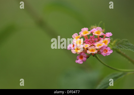 Single bunch of Common Lantana flower from India in green background - Stock Photo
