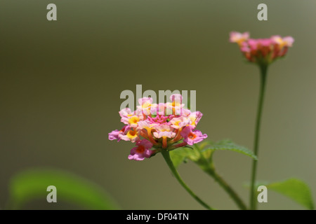Common Lantana flower from India - Stock Photo