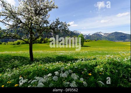 Meadows in spring near the Siglhof Cafe, Hochkreuth, Siglalm alp in the Leitzachtal valley, Bayrischzell, Upper Bavaria, Bavaria