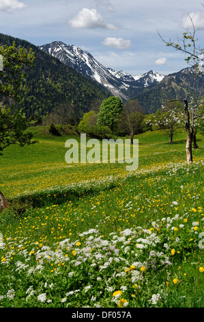 Meadows and flowering fruit trees in spring, orchards, Hochkreuth in the Leitzachtal valley, near Bayrischzell, Upper Bavaria