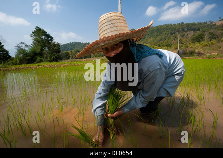Female farmer with a hat, working in a rice paddy, rice plants in the water, rice farming, Northern Thailand, Thailand, - Stock Photo