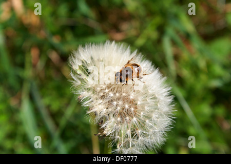 european hoverfly eristalis tenax drone fly on dandelion clock in the uk - Stock Photo