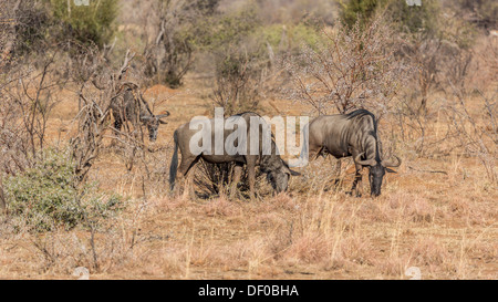 Three Blue Wildebeest grazing in the dry grasslands of Pilanesberg National Park in South Africa - Stock Photo