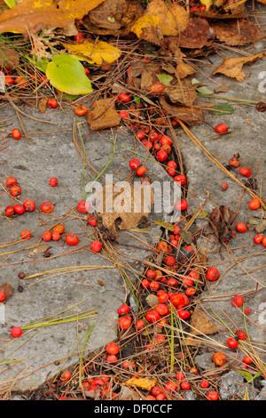 ... Fallen Mountain Ash Berries Collected On Patio Stones Greater Sudbury  Ontario   Stock Photo