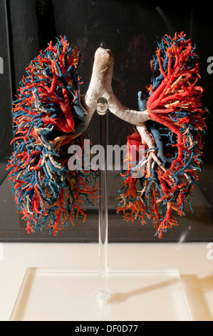 Plastination specimen of bronchial distribution, trachea and bronchi, in white; lungs, arteries in blue and veins - Stock Photo
