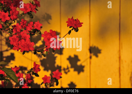 Yellow Azalea or Honeysuckle Azalea (Rhododendron luteum) with shadow in front of a wooden wall - Stock Photo