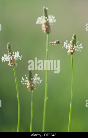 Ribwort plantain, English plantain, buckhorn plantain, and narrowleaf plantain (Plantago lanceolata) with hover - Stock Photo