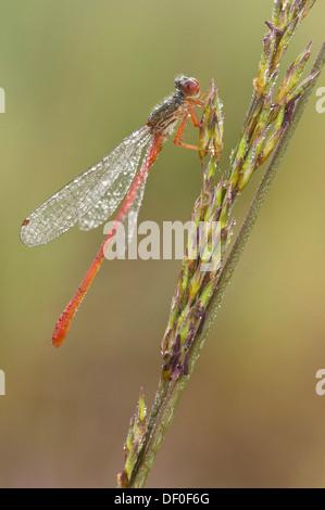 Small Red Damselfly (Ceriagrion tenellum), Haren, Emsland region, Lower Saxony - Stock Photo
