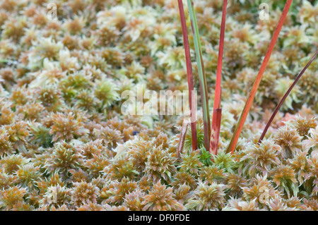Common cottongrass (Eriophorum angustifolium) on peat moss (Sphagnum sp.) Heseper Moor, Emsland, Lower Saxony - Stock Photo