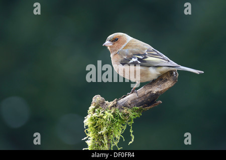 Chaffinch (Fringilla coelebs), male, Haren, Emsland, Lower Saxony, Germany - Stock Photo