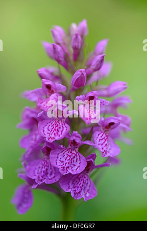 HOA GIEO TỨ TUYỆT - Page 83 Robust-marsh-orchid-dactylorhiza-elata-hybrid-alex-duguid-haren-emsland-df0gr7