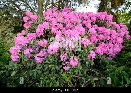 Catawba Rhododendron (Rhododendron catawbiense), seedling, flowering, Haren, Emsland, Lower Saxony, Germany - Stock Photo