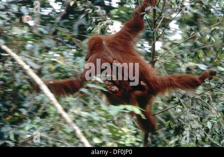 Orangutan (Pongo pygmaeus). Gunung Leuser National Park. Sumatra. Indonesia - Stock Photo