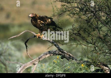 Wedge-tailed eagle (Aquila audax). Karijini National Park. Western Australia - Stock Photo