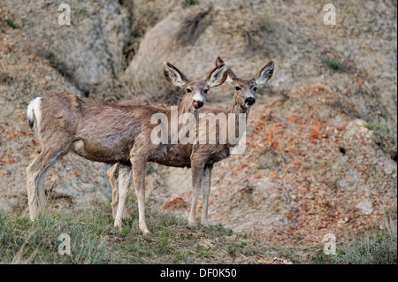 Mule deer Odocoileus hemionus Foraging in sage in early spring Theodore roosevelt south unit North Dakota - Stock Photo