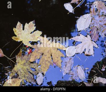 Autumn leaves at Fern Spring. Yosemite National Park. California. USA - Stock Photo
