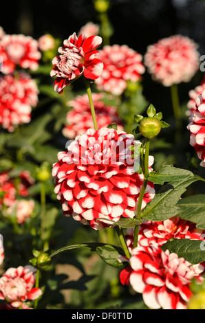 Decorative dahlia (Dahlia Checkers) - Stock Photo