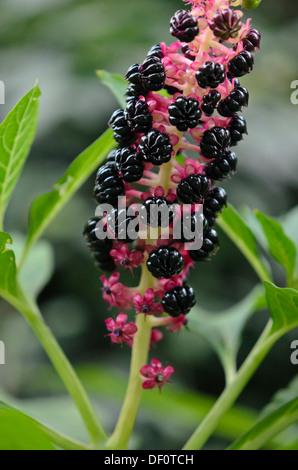 Indian pokeweed (Phytolacca acinosa) - Stock Photo