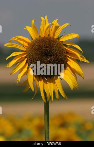 Leipzig, Germany, Sunflower - Stock Photo