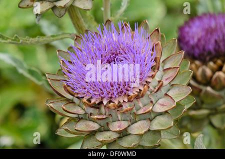 Artichoke (Cynara cardunculus 'Green Globe' syn. Cynara scolymus 'Green Globe') - Stock Photo