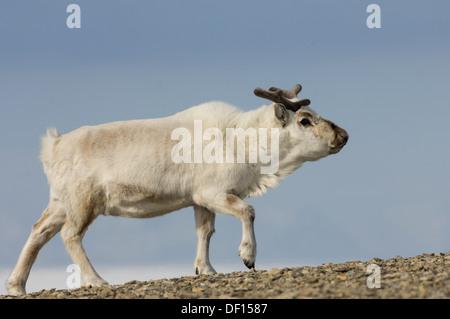 Svalbard reindeer (Rangifer tarandus platyrhynchus) in Sassendalen, near Temple Fjord (Tempelfjorden), Spitsbergen, - Stock Photo