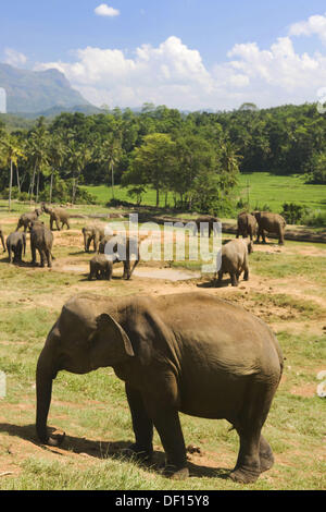 Pinnewela Elephant Orphanage, Sri Lanka - Stock Photo