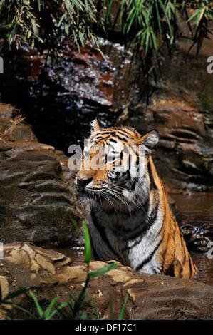 Siberian tiger = Panthera tigris altaica - Stock Photo