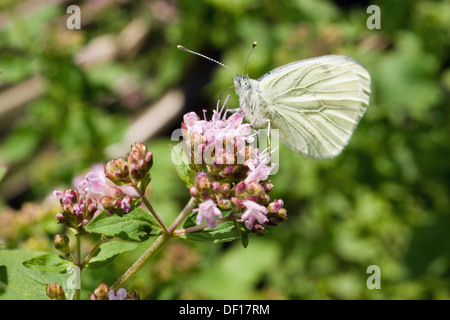 Berlin, Germany, a cabbage white butterfly sitting on the flowering of Dost - Stock Photo
