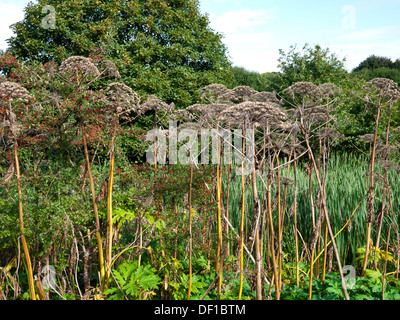 Giant Hogweed (Heracleum mantgazzianum) in seed. - Stock Photo