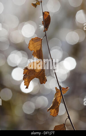 Birch twig with brown leaves (Betula sp.) in front of a lake. Autumn,Västernorrland, Norrland, Sweden, Scandinavia, - Stock Photo