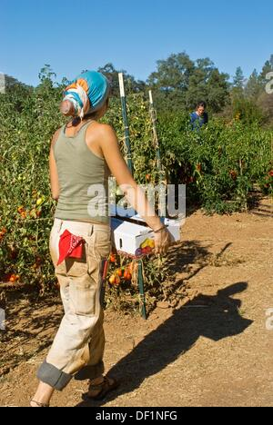 Young woman carrying box of freshly picked tomatoes on small organic farm, Nevada City, California - Stock Photo