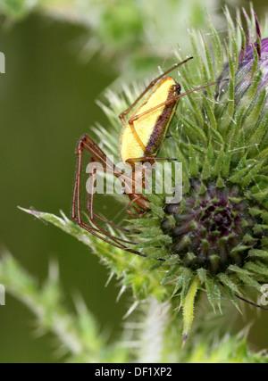 Close-up of the female common stretch spider (Tetragnatha extensa) - Stock Photo