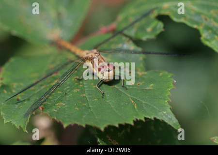Common Darter (Sympetrum striolatum) - Stock Photo