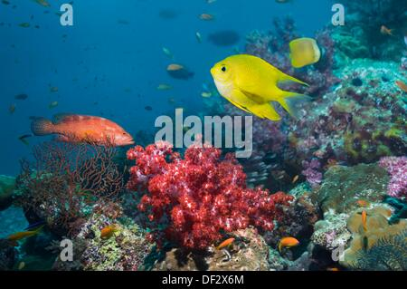 Golden damsel Amblyglyphidodon aureus over coral reef with soft coral  Andaman Sea, Thailand - Stock Photo