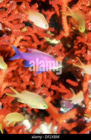 Purple Queen fish (Pseudanthias tuka) with coral. Malaysia - Stock Photo