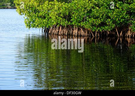 Red mangroves and salt water lagoons. South Florida. - Stock Photo