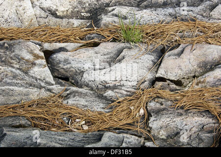 Aux Sables River shoreline rocks with collected pine needles and sprouting herbs. Aux Sables Provincial Pasrk, Massey, - Stock Photo