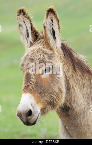Domestic Donkey (Equus africanus f. asinus). Custer State Park, South Dakota, USA. - Stock Photo