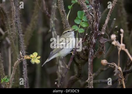 Yellow-browed Warbler Phylloscopus inornatus Shetland Scotland UK - Stock Photo