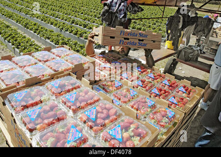 Strawberry field packing harvest in central Florida in March winter by migrant workers from central American Latin - Stock Photo