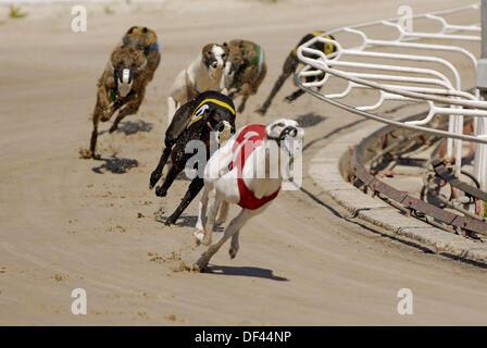 Greyhound dog racing at the Sarasota Kennel Club. Florida, USA - Stock Photo