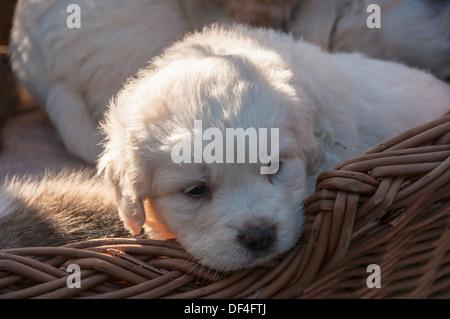 Young polish Tatra Sheepdog in a basket. - Stock Photo