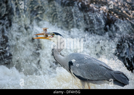 Grey Heron, Ardea cinerea, standing in a river in front of a waterfall, with a fish in its beak, close up in scotland - Stock Photo