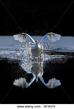 Mute Swan (Cygnus olor) flying forwards over a frozen pond, reflected in the water, in Scotland, in winter, close - Stock Photo