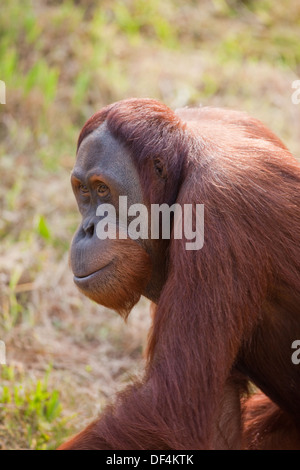 Sumatran Orang-utan (Pongo abelii) . Adult female. Durrell Wildlife Conservation Trust. Jersey, Channel Islands, - Stock Photo